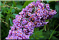 J3268 : Buddleia, Minnowburn, Belfast by Albert Bridge