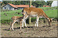 SE6670 : Fallow deer, doe and fawn by Pauline Eccles