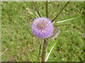 SK8669 : Teasel blossom  by Alan Murray-Rust
