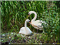 SD7706 : Mute Swans by David Dixon