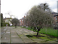 SJ8990 : Weeping Silver Pears, St Mary's Churchyard by Robin Stott