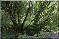 SW5633 : Trees at the stream by Elizabeth Scott