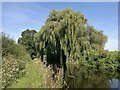 SK6481 : Weeping willows hang over the Chesterfield Canal at Ranby by Chris Morgan