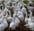 SO5500 : Free range geese : Week 36