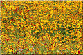 TQ3783 : Yellow meadow, Olympic Park by Oast House Archive