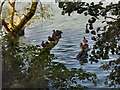 SJ6576 : Ducks, Budworth Mere by David Dixon