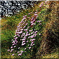Q8559 : Loop Head Peninsula - Dunlicky Road - Atlantic Coastline - Flowers on Cliffside by Suzanne Mischyshyn