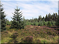 NY9655 : Conifers and heather in Slaley Forest by Trevor Littlewood