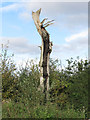 TQ5683 : Dead Tree by Roger Jones