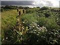SX9066 : Teasels, daisies and brambles, Barton tip by Derek Harper