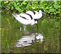 TF9429 : Pair of avocets, Pensthorpe by Pauline Eccles