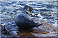 HU4640 : Common Seal (Phoca vitulina), North Taing, Lerwick by Mike Pennington