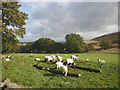 NY5214 : Swaledale lambs by Swindale Lane by Karl and Ali