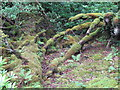 C0634 : Tree roots, Ards Forest Park by Willie Duffin