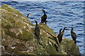 HP6300 : Shags (Phalacrocorax aristotelis), east coast of Mu Ness by Mike Pennington