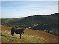 NY5016 : A fell pony above Haweswater Dam by Karl and Ali