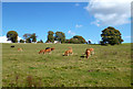 TQ0398 : Chess Valley Cows by Des Blenkinsopp