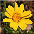 NJ3458 : Oxford Ragwort (Senecio squalidus)? by Anne Burgess