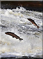 NT4427 : Jumping salmon at Murray's Cauld, Philiphaugh by Walter Baxter