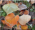 J2868 : Frosty leaves, Seymour Hill, Derriaghy : Week 48