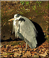 J3675 : Heron, Victoria Park, Belfast by Albert Bridge