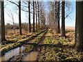 TL1788 : Poplar trees near Nut Plantation by Michael Trolove