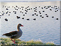 SP9113 : A Goose and Coot at Startops Reservoir by Chris Reynolds
