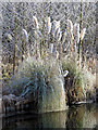 SP9313 : Frosted Pampas Grass by the canal. by Chris Reynolds
