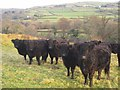 SX5077 : Cattle by the West Devon Way by Derek Harper