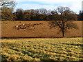 SP9910 : Horses grazing on Berkhamsted Common : Week 51