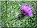 TF0821 : Thistle flower by Bob Harvey