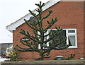 SK8546 : Monkey Puzzle Tree by J.Hannan-Briggs