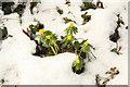 TF1083 : Aconites in the snow : Week 5