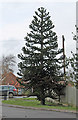 SK8055 : Monkey Puzzle tree on Emmendingen Avenue, Newark by J.Hannan-Briggs