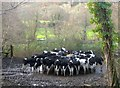 SX7980 : Cattle by Lower Knowle Road by Derek Harper