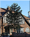 SK5937 : Monkey Puzzle tree on Davies Road by J.Hannan-Briggs
