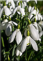 NT0998 : Snowdrops at Cleish Parish Church by William Starkey