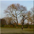 SK4733 : Two large poplars in West Park by David Lally