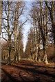 SK6276 : Limetree Avenue in Clumber Park by Graham Hogg