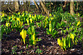 SP0583 : American skunk-cabbage (Lysichiton americanus) by Phil Champion