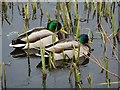 NZ3069 : Two handsome mallard drakes in their finest plumage : Week 11