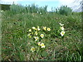 NY1929 : Primroses at Kelswick by Michael Graham