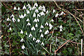 SP0511 : Snowdrops, Chedworth by Christine Matthews