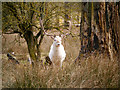 SJ7386 : White Stag, Dunham Massey by David Dixon