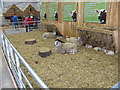 SP0774 : Sheep at Beckett's Farm by David Hawgood