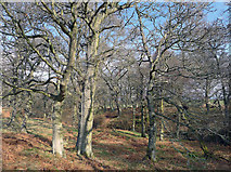NH5857 : Drummondreach Wood and its natural woodland by Julian Paren
