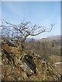 NY3405 : Hawthorn on Loughrigg by Michael Graham