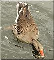 J4774 : Greylag geese, Kiltonga, Newtownards (9) by Albert Bridge