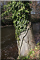 NT3470 : Ivy-covered Tree Trunk by Anne Burgess