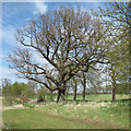TL8424 : Trees near the lane, Marks Hall Estate by Roger Jones